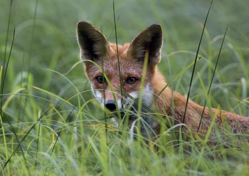 Fox control in Yorkshire