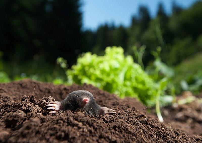 Mole Control in Yorkshire