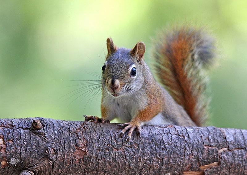 Squirrel control in yorkshire