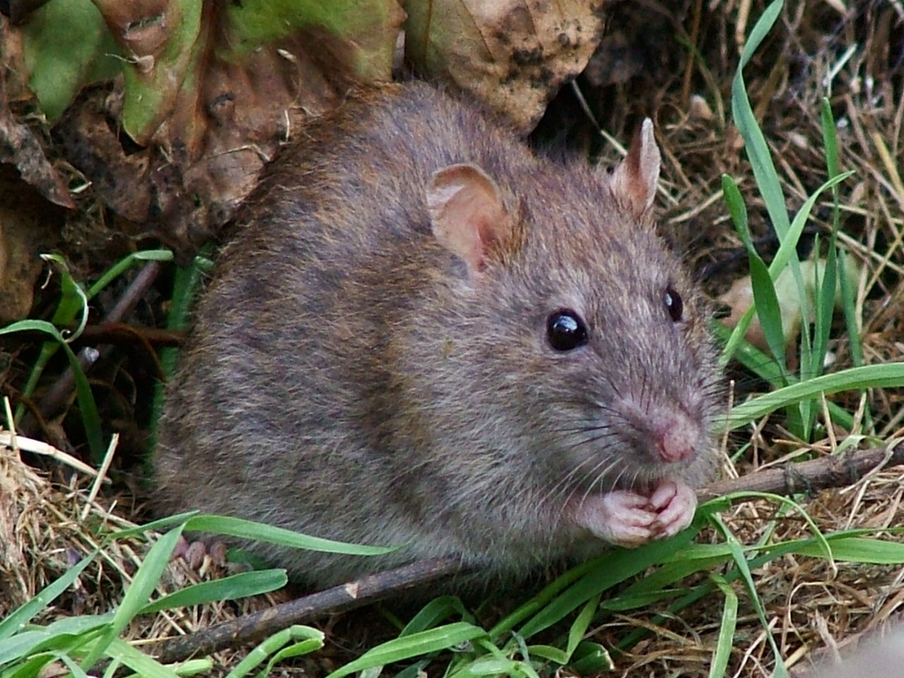 getting rid of rats in a sewage drainage system agripest